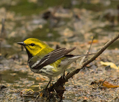 Black Throated Green Warbler 001 by Elluka-brendmer