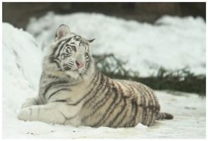 Little white tiger II by Lilia73