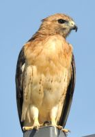 RED TAIL Hawk Perched by JSF1