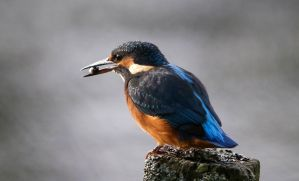 Kingfisher by NurturingNaturesGift