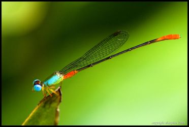 Damselfly by sharpion