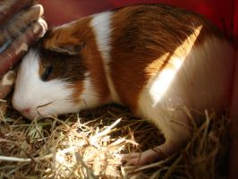 Fritzi 3 (quinea pig) - stock by Calitha-Lena