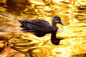 On Golden Pond by barmat