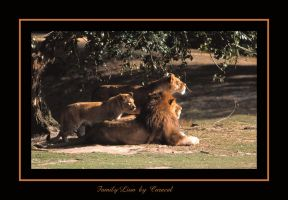 Family Lion by caracal