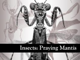 Insects: Praying Mantis by remittancegirl