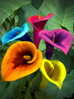 Colorful Lilies by HarrisonGM