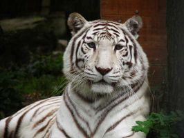 White tiger 1 by JanuaryGuest