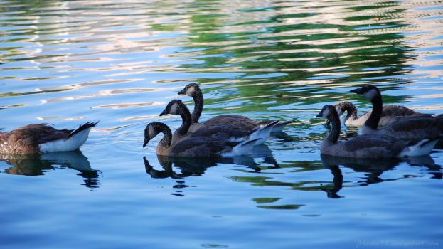 Geese Flotilla Background by Phenix59