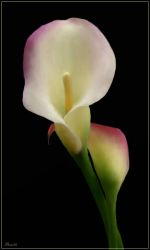 Calla by Bumblewales