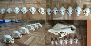 Small Feline skull comparison by Lot1rthylacine