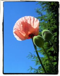 poppies by Hania