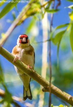 European goldfinch by AlecsPS