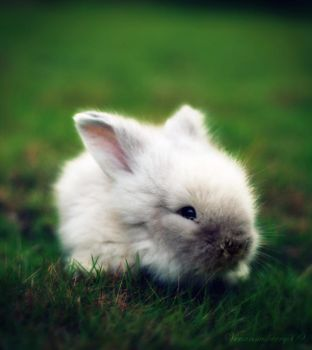 the whitest rabbit alive 2.. by herryhewy