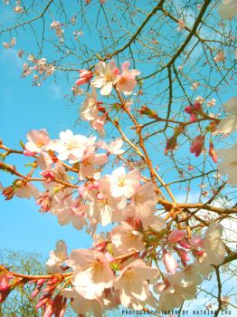 Cherry Blossoms '08 by katlc