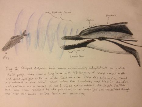 Striped Dolphin Figure 2: Echolocation by dracoaestas