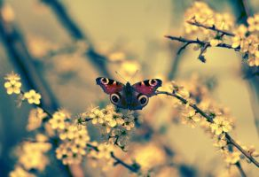 Creamy Butterfly by PancolartJorge