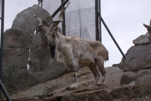 Markhor 1 by Panopticon-Stock
