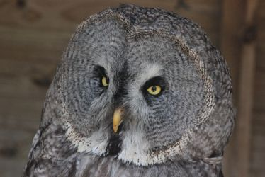 Great Grey Owl by S4MMY4RT