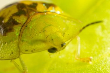 Tortoise Beetle Closeup by 1the1