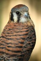 American Kestrel 3 by EdgedFeather