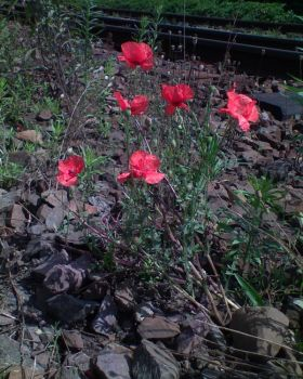 Railway track poppies by Woolfred