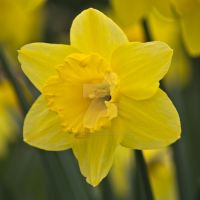 Yellow Daffodil Flower by photographybypixie