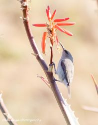 Grey Sunbird (?) by Okavanga