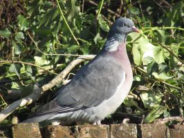 Woodpigeon by Sia-the-Mawile