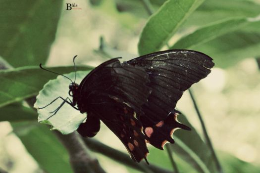 Black Butterfly by DarioBnls