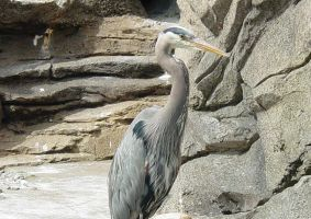 Great Blue Heron 001 by Elluka-brendmer