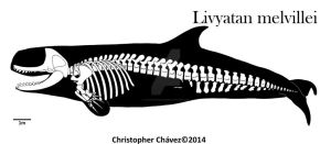 skeletal reconstruction Livyatan melvillei by Christopher252