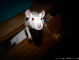 Fancy Rat - Ataxia by quadrophonic