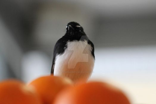 Willy Wagtail On A Basket Of Oranges by Cairngorm747