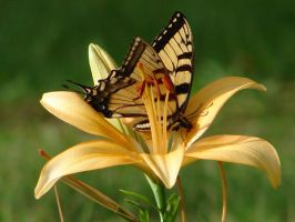 Butterfly on Lily by pcoppolo46