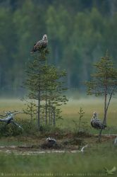 White-tailed Eagles by linneaphoto