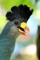 Great Blue Turaco by s-kmp