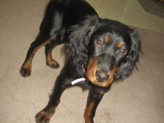 Gordon Setter Puppy by Zyphra