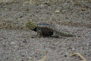 Desert Spiny Lizard 2 by PatGoltz