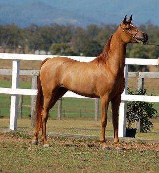 GE Arab chestnut side view low qual by Chunga-Stock