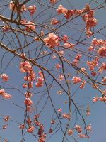 Flowering Pink by MisoJace