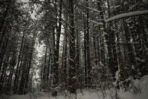 Pine Forest by matcheslv