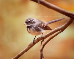 .:: Little fantail ::. by Whimsical-Dreams