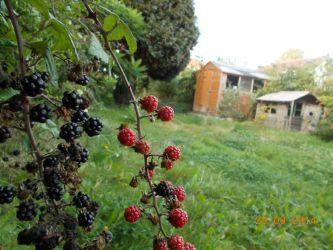 black and red berries. by Sapphirestar2848386