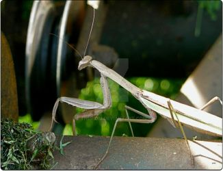 Praying_Mantis_1 by Theriom