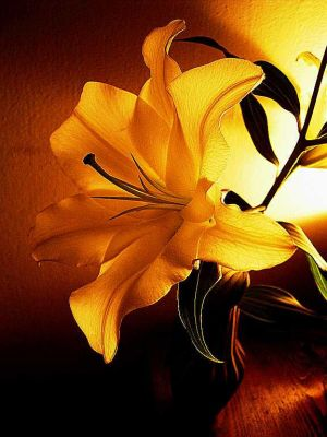 the lily: inner warmth by Irlandka