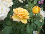 Yellow Rose by GwillaTheDragon
