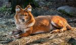 The Singing Dhole by PictureByPali