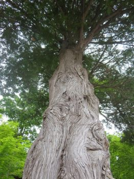 Cedar Tree looking up 2 by Shell4You