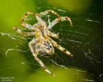 Orb Weaver by AstarothSquirrel