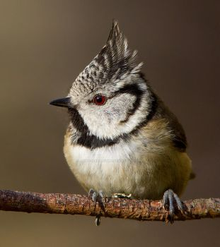 The new look - Crested Tit by Jamie-MacArthur